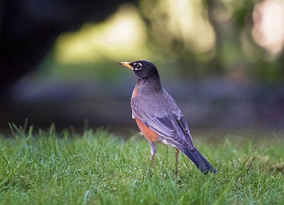 Photograph - Robin by Kathy King