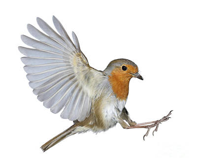 Photograph - Robin Landing by Warren Photographic