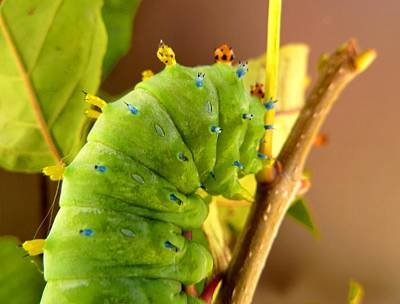 Photograph - Robin Moth Caterpillar by Claire Bull