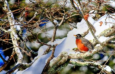 Photograph - Robin On A Limb In Snow by Carol Montoya
