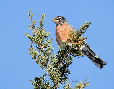 Photograph - Robin On An Eastern Redcedar Tree by Betty Denise