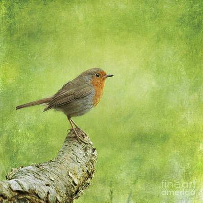 Robin Photograph - Robin On Branch by Liz Leyden
