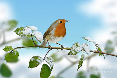 Photograph - Robin On Briar With Frost by Warren Photographic
