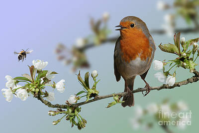 Photograph - Robin On Cherry Blossom by Warren Photographic