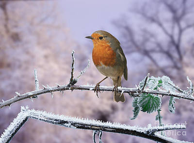 Photograph - Robin On Frosty Bramble by Warren Photographic