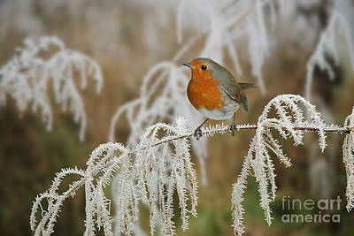 Photograph - Robin On Frosty Sedge by Warren Photographic