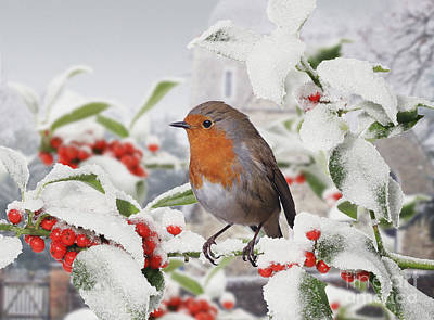 Photograph - Robin On Holly Branch And Snow by Warren Photographic