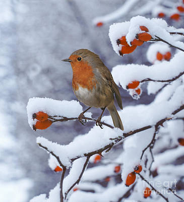 Photograph - Robin On Snow-covered Rose Hips by Warren Photographic