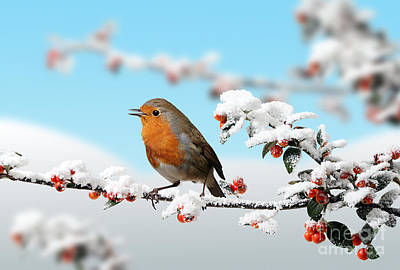 Photograph - Robin On Snowy Cotoneaster by Warren Photographic