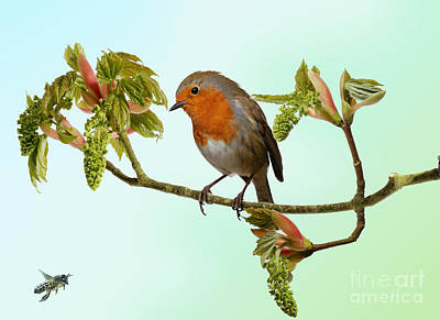 Photograph - Robin On Sycamore by Warren Photographic