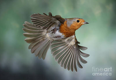 Photograph - Robin On The Wing by Warren Photographic