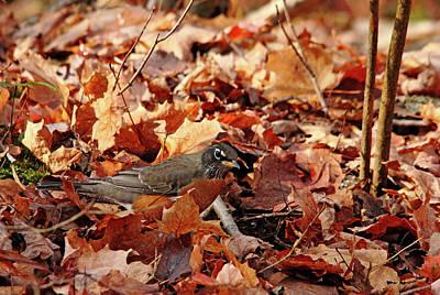 Photograph - Robin Playing In Fallen Leaves by Debbie Oppermann