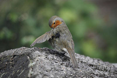 Photograph - Robin Preening by Warren Photographic