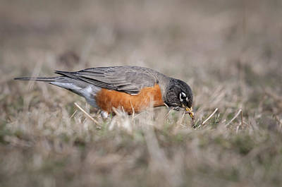 Photograph - Robin Pulling Worm by Tyson Smith