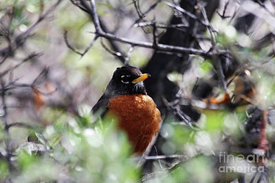 Photograph - Robin Red Breast by Alyce Taylor