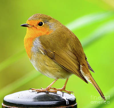 Photograph - Robin Red Breast by Colin Rayner