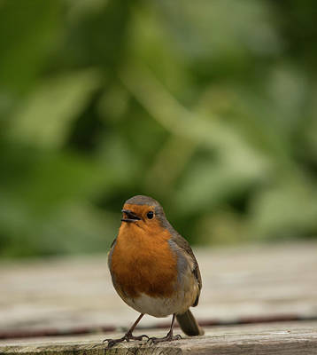 Photograph - Robin Red Breast by Darren Wilkes