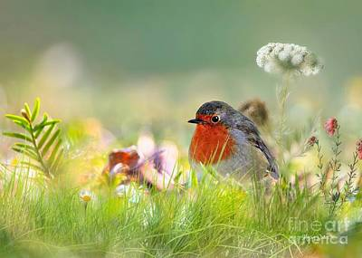 Robin Red Breast Art Print