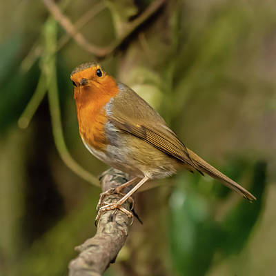 Photograph - Robin Red Breast by Nick Bywater