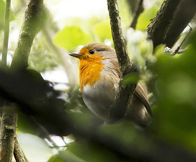 Photograph - Robin Redbreast by Steven Poulton