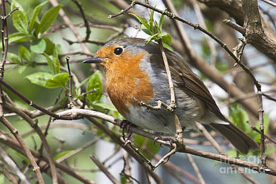 Photograph - Robin Redbreast by Terri Waters
