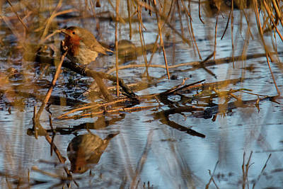 Photograph - Robin Reflection  by Cliff Norton
