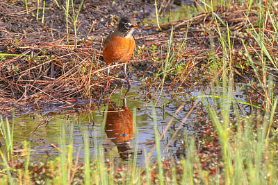 Photograph - Robin Reflection by Dart and Suze Humeston