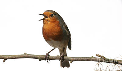 Photograph - Robin Singing On Branch by Warren Photographic