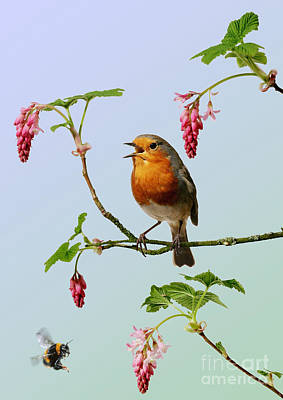 Photograph - Robin Singing On Flowering Currant by Warren Photographic