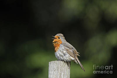 Photograph - Robin Singing On Post by Warren Photographic