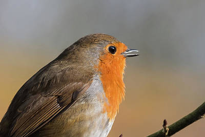 Photograph - Robin by Wendy Cooper