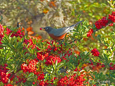 Photograph - Robins Berry Feast by K L Kingston
