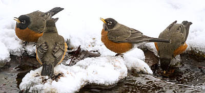 Photograph - Robins Flocking by Jean Noren