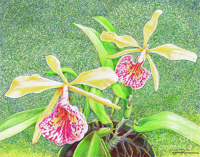 Orchid Drawing - Robin's Orchids by Jim Rehlin