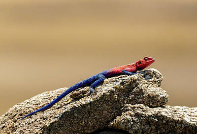 Photograph - Rock Agama Lizard by Tim Bryan