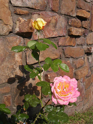 Photograph - Rock And Rose by Anne Cameron Cutri