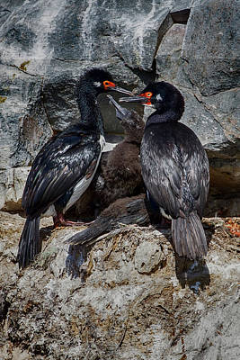 Photograph - Rock Cormorant Family by John Haldane