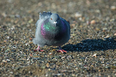 Photograph - Rock Dove by Karol Livote
