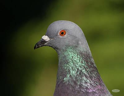 Photograph - Rock Dove Or Pigeon, Columba Livia by Elenarts - Elena Duvernay photo