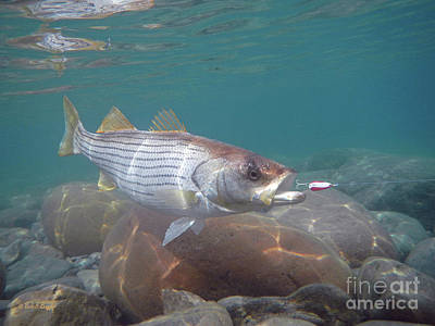 Rockfish On The Rocks Art Print by Paul Buggia