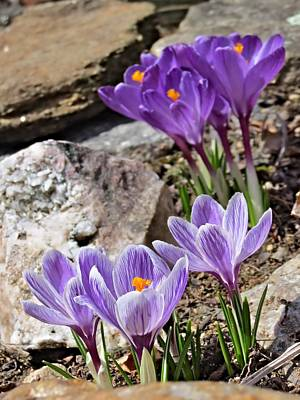 Photograph - Rock Garden Crocus by MTBobbins Photography