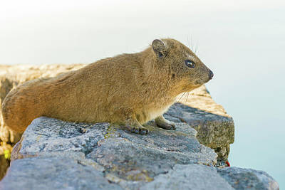Photograph - Rock Hyrax On Table Mountain Cape Town South Africa by Marek Poplawski