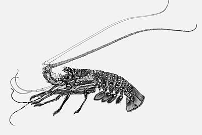 South Pacific Drawing - Rock Lobster by Judith Kunzle