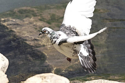 Rock Pigeon In Flight Art Print