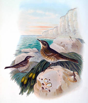 Target Threshold Nature - Rock Pipit Antique Bird Print John Gould HC Richter Birds of Great Britain by Orchard Arts