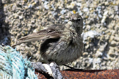 Photograph - Rock Pipit by Terri Waters