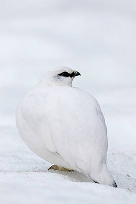 Photograph - Rock Ptarmigan In Winter by Arterra Picture Library