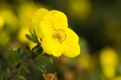 Photograph - Rock Rose by Erin Kohlenberg