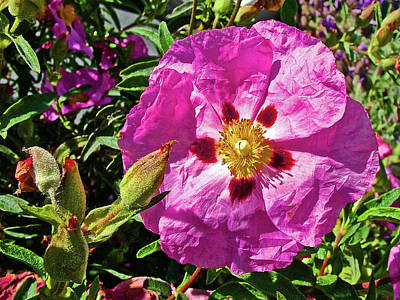 Photograph - Rock Rose In Friday Harbor On San Juan Island, Washington by Ruth Hager