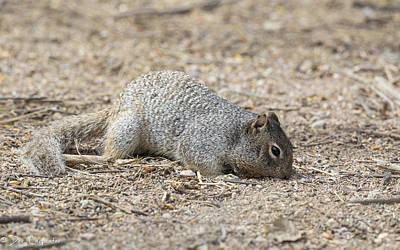 Photograph - Rock Squirrel by Dee Carpenter